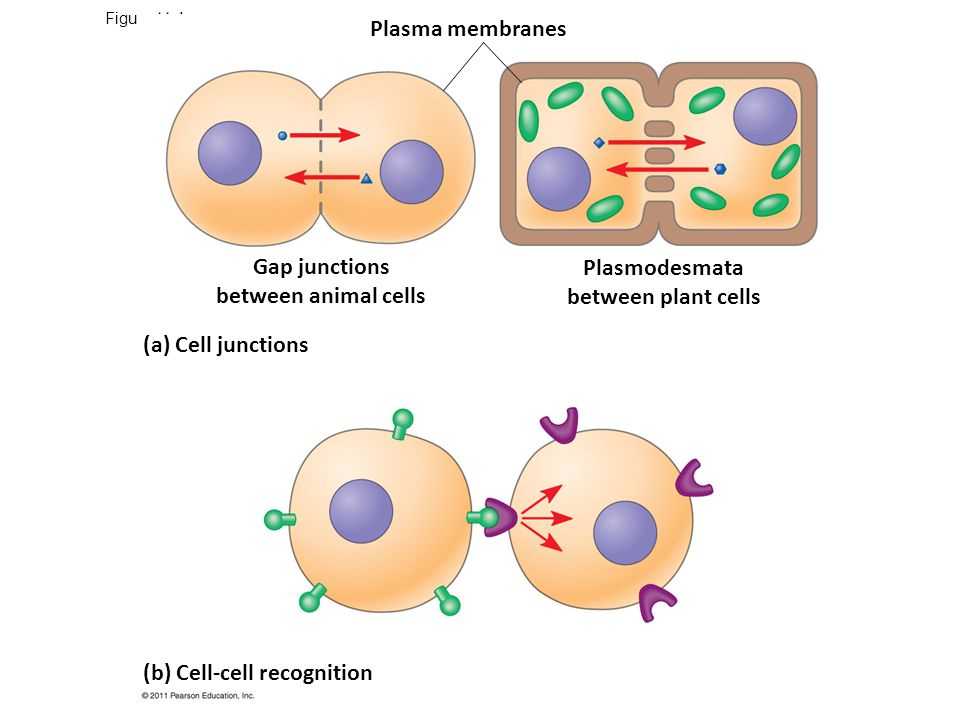 A ligand-gated ion channel receptor acts as a gate when the receptor changes shape When a signal molecule binds as a ligand to the receptor, the gate allows specific ions, such as Na + or Ca 2+, through a channel in the receptor © 2011 Pearson Education, Inc.