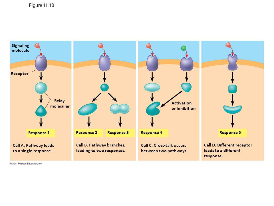 Figure 11.18 Signaling molecule Receptor Relay molecules Response 1 Cell A.