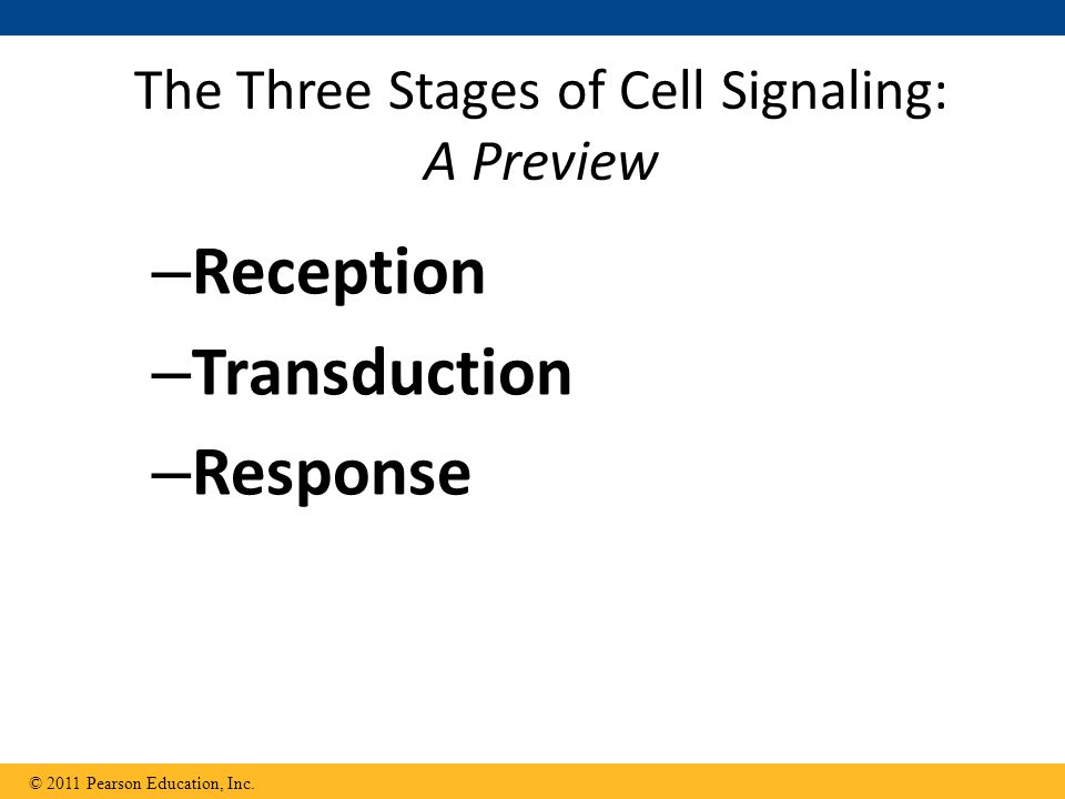 The Three Stages of Cell Signaling: A Preview – Reception – Transduction – Response © 2011 Pearson Education, Inc.