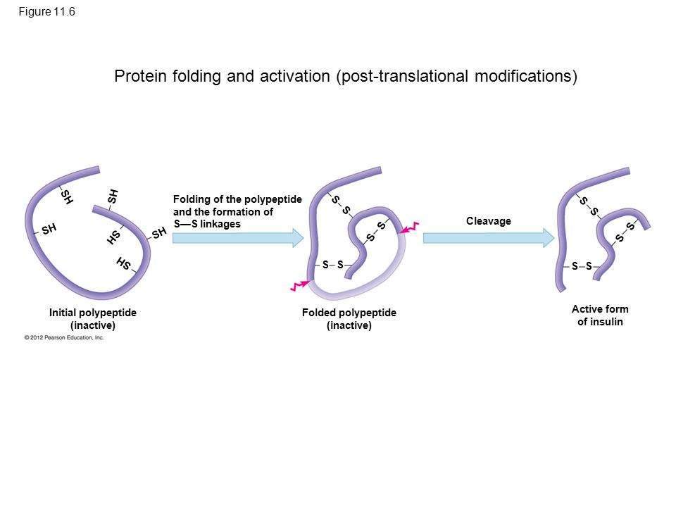 Figure 11.6 Folding of the polypeptide and the formation of S—S linkages Initial polypeptide (inactive) Folded polypeptide (inactive) Active form of insulin Cleavage S S S S S S S S S S S S SH Protein folding and activation (post-translational modifications)