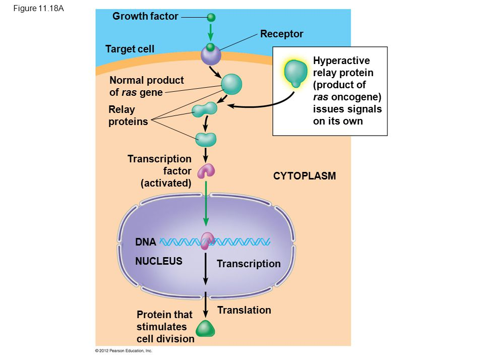 Figure 11.18A Growth factor Target cell Normal product of ras gene Relay proteins Receptor Hyperactive relay protein (product of ras oncogene) issues signals on its own CYTOPLASM DNA NUCLEUS Transcription Translation Protein that stimulates cell division Transcription factor (activated)