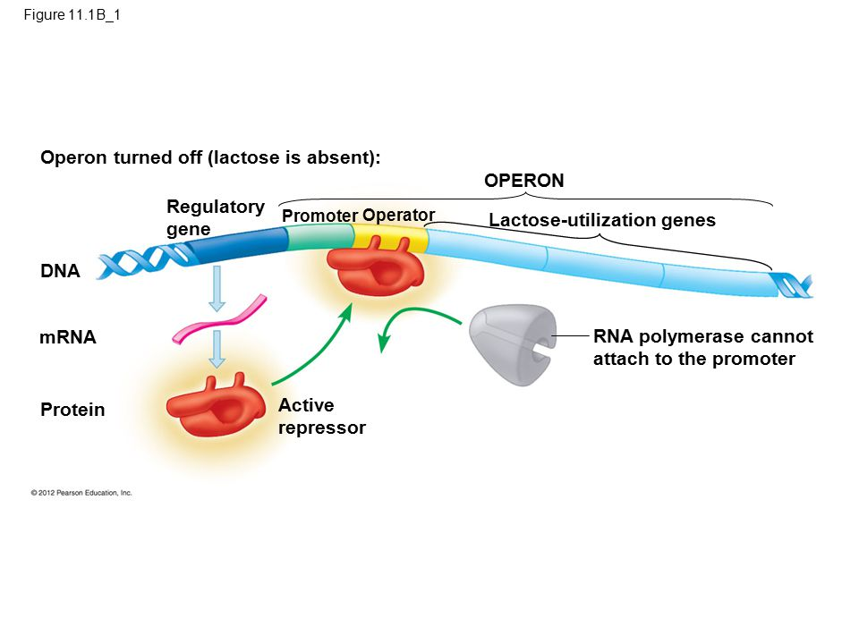 Figure 11.1B_1 Operon turned off (lactose is absent): OPERON Regulatory gene Promoter Operator Lactose-utilization genes RNA polymerase cannot attach to the promoter Active repressor Protein mRNA DNA
