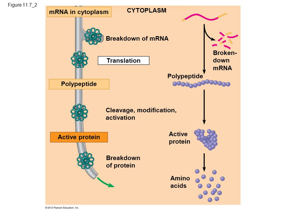 Figure 11.7_2 mRNA in cytoplasm CYTOPLASM Breakdown of mRNA Translation Polypeptide Broken- down mRNA Cleavage, modification, activation Active protein Amino acids Breakdown of protein