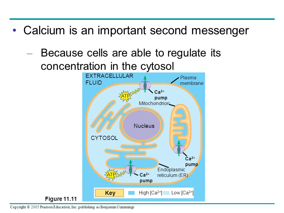 Copyright © 2005 Pearson Education, Inc. publishing as Benjamin Cummings Calcium is an important second messenger – Because cells are able to regulate