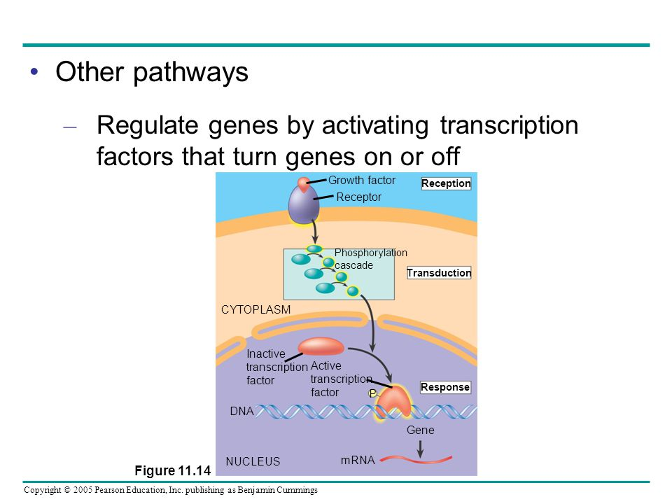 Copyright © 2005 Pearson Education, Inc. publishing as Benjamin Cummings Other pathways – Regulate genes by activating transcription factors that turn