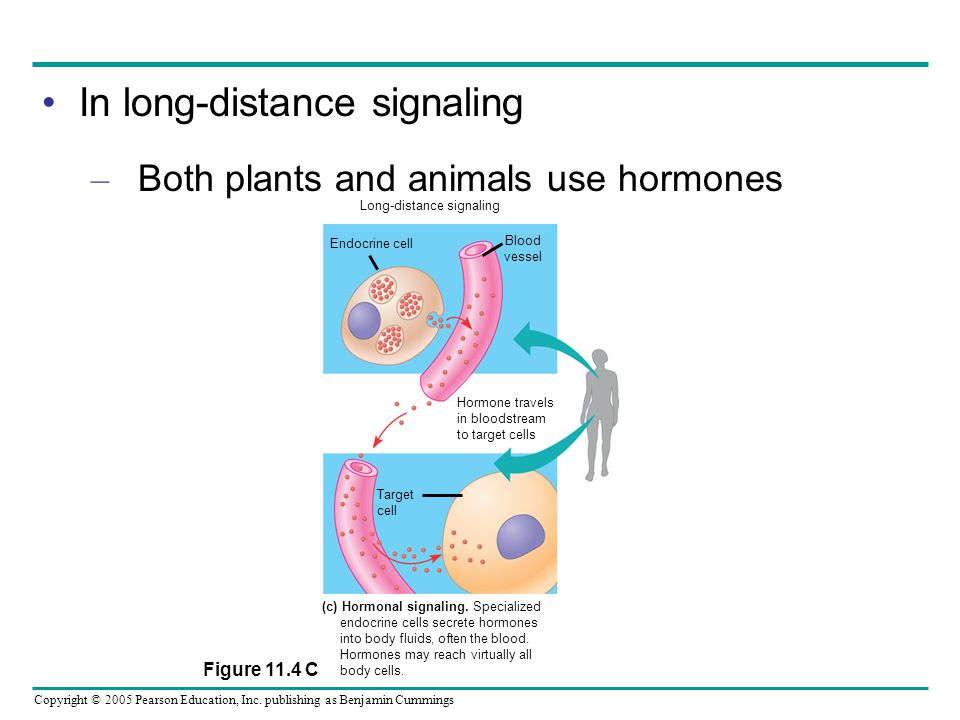 Copyright © 2005 Pearson Education, Inc. publishing as Benjamin Cummings In long-distance signaling – Both plants and animals use hormones Hormone tra