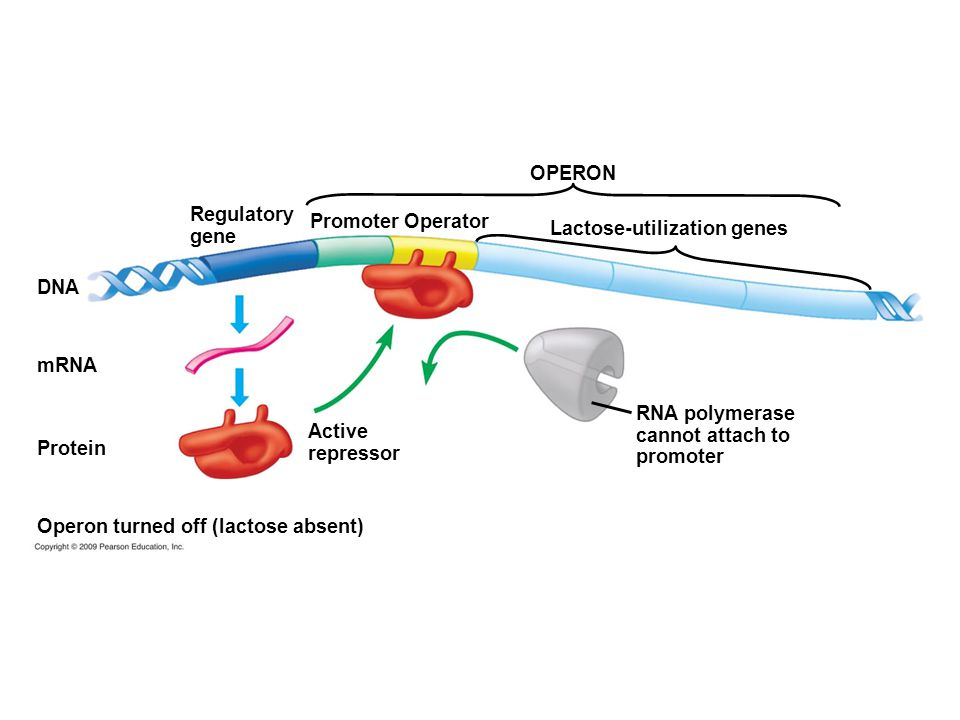 DNA RNA polymerase cannot attach to promoter Lactose-utilization genes Promoter Operator Regulatory gene OPERON mRNA Active repressor Operon turned of