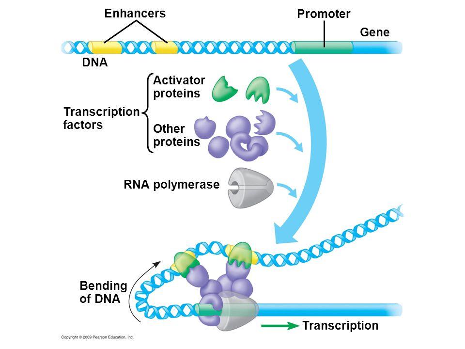 Enhancers Other proteins DNA Transcription factors Activator proteins RNA polymerase Promoter Gene Bending of DNA Transcription