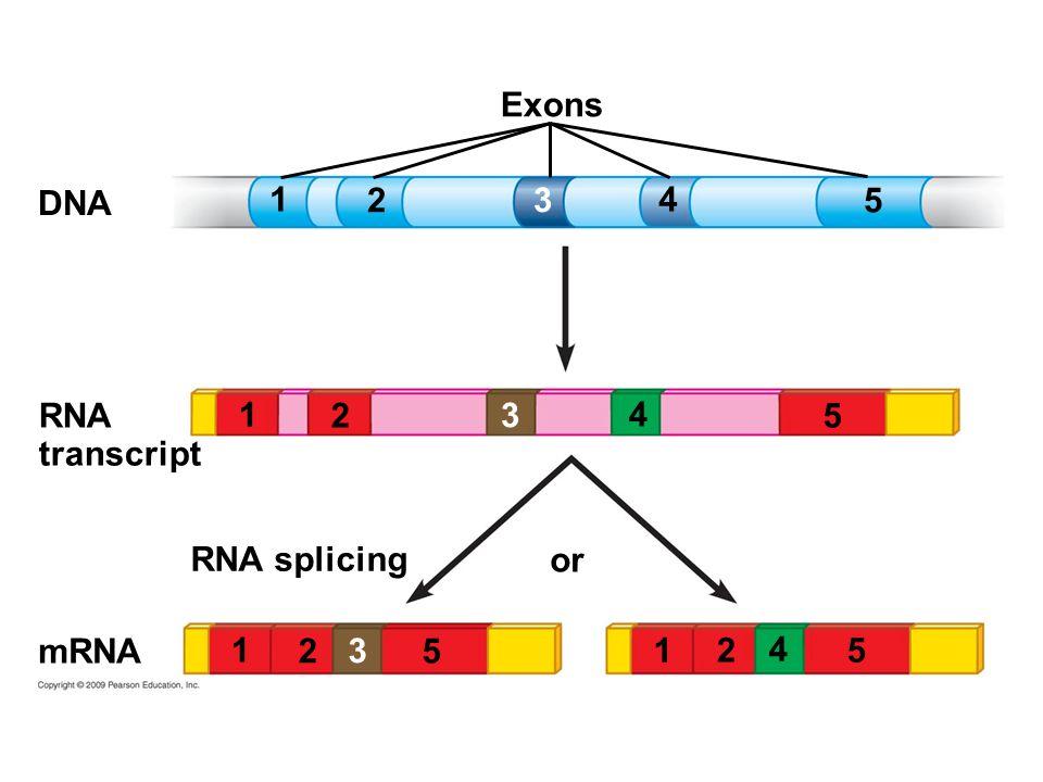 1 or Exons DNA RNA splicing RNA transcript mRNA 2 3 4 5 1 2 3 4 5 1 2 4 5 1 2 3 5