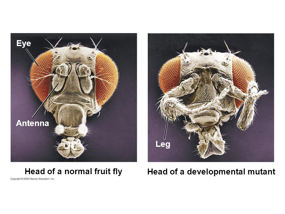 Head of a normal fruit fly Antenna Eye Head of a developmental mutant Leg