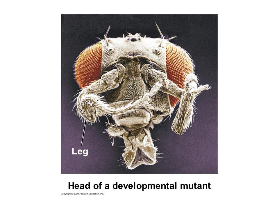 Head of a developmental mutant Leg