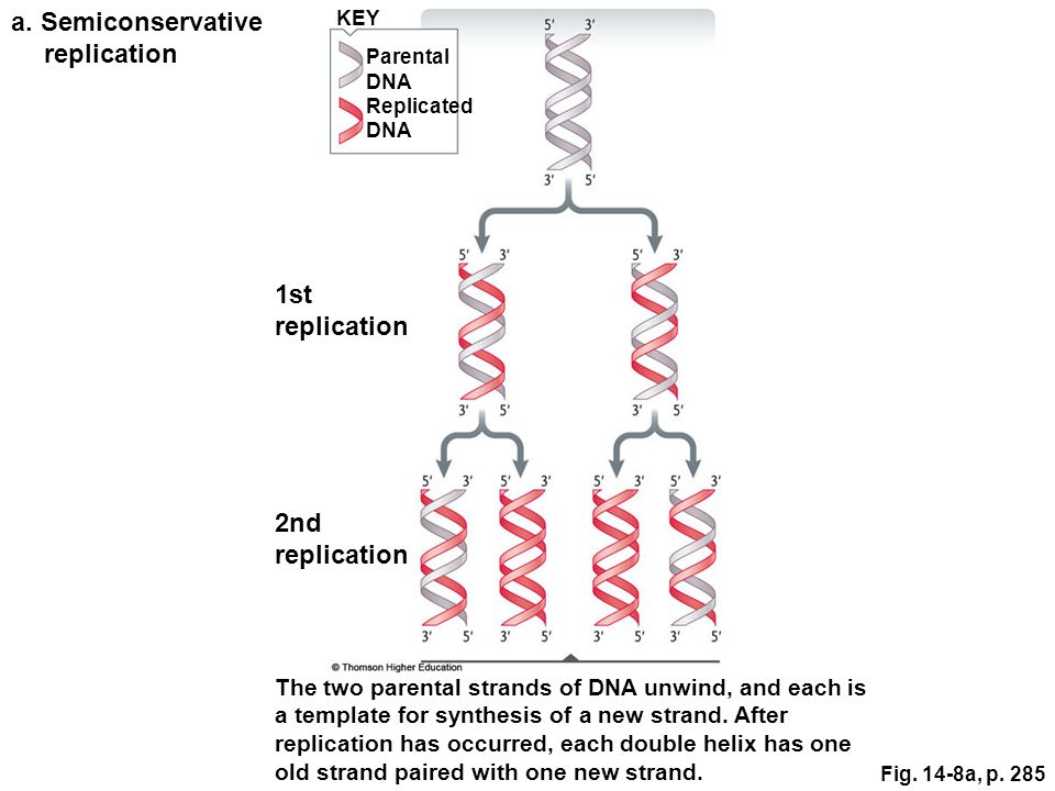 Fig. 14-8a, p. 285 Parental DNA Replicated DNA KEY a.