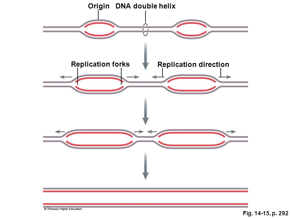 Fig. 14-15, p. 292 Replication forks OriginDNA double helix Replication direction