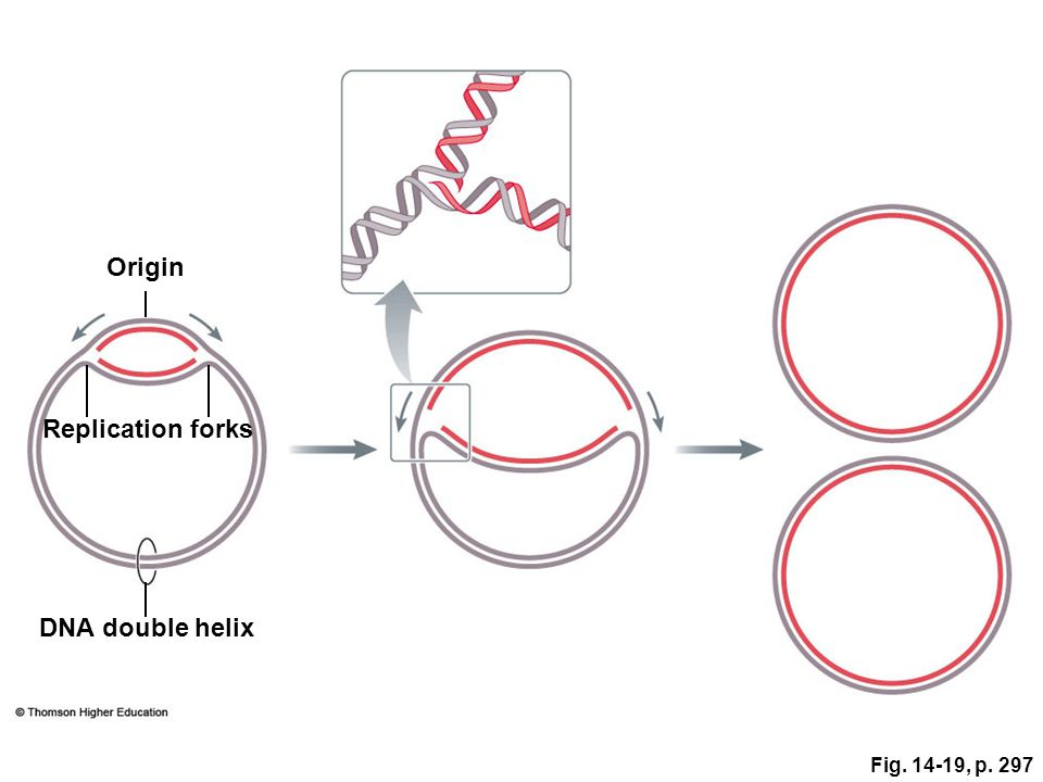 Fig. 14-19, p. 297 DNA double helix Origin Replication forks