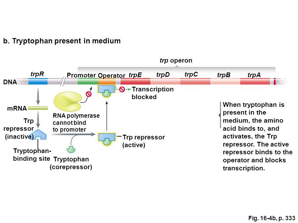 Fig. 16-4b, p. 333 trpE trpD trpC trpBtrpA trpR Promoter Operator trp operon b.