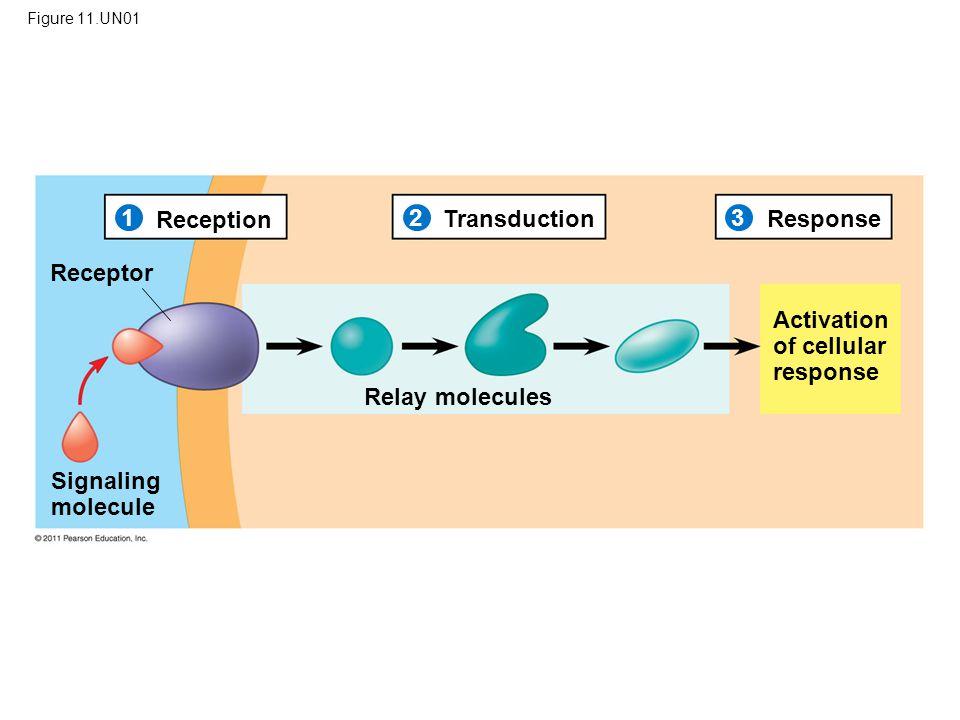 Figure 11.UN01 Reception 1 2 3 TransductionResponse Receptor Signaling molecule Relay molecules Activation of cellular response