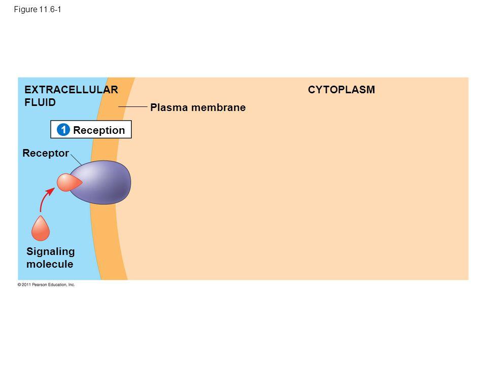 Figure 11.6-1 Plasma membrane EXTRACELLULAR FLUID CYTOPLASM Reception Receptor Signaling molecule 1