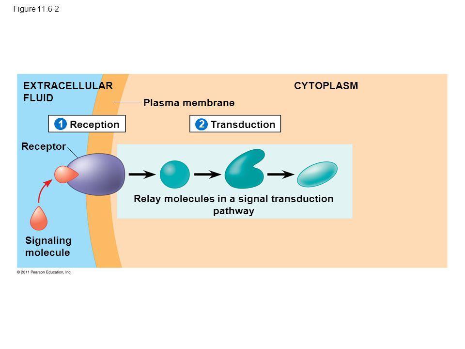 Figure 11.6-2 Plasma membrane EXTRACELLULAR FLUID CYTOPLASM ReceptionTransduction Receptor Signaling molecule Relay molecules in a signal transduction