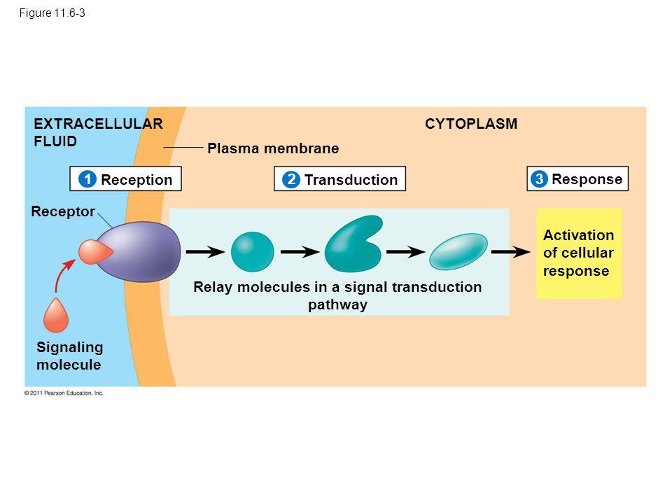 Figure 11.6-3 Plasma membrane EXTRACELLULAR FLUID CYTOPLASM ReceptionTransduction Response Receptor Signaling molecule Activation of cellular response