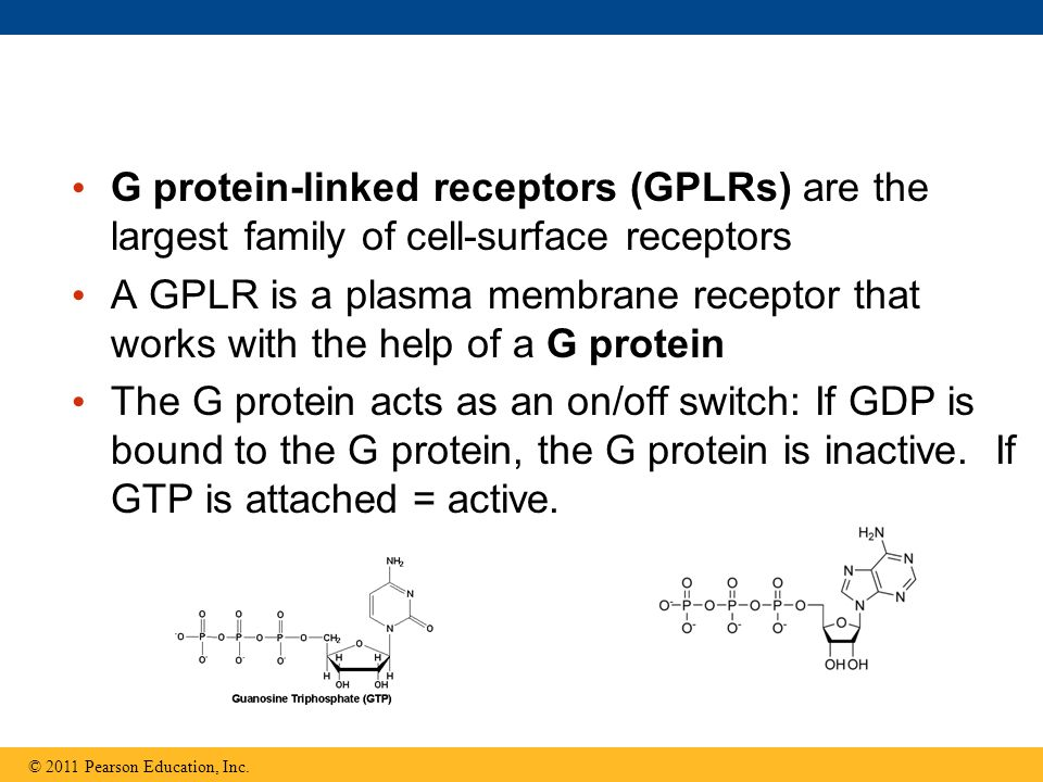 G protein-linked receptors (GPLRs) are the largest family of cell-surface receptors A GPLR is a plasma membrane receptor that works with the help of a