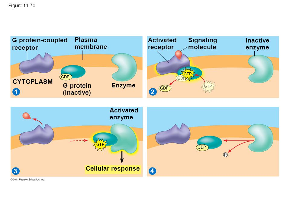 Figure 11.7b G protein-coupled receptor 21 3 4 Plasma membrane G protein (inactive) CYTOPLASM Enzyme Activated receptor Signaling molecule Inactive en