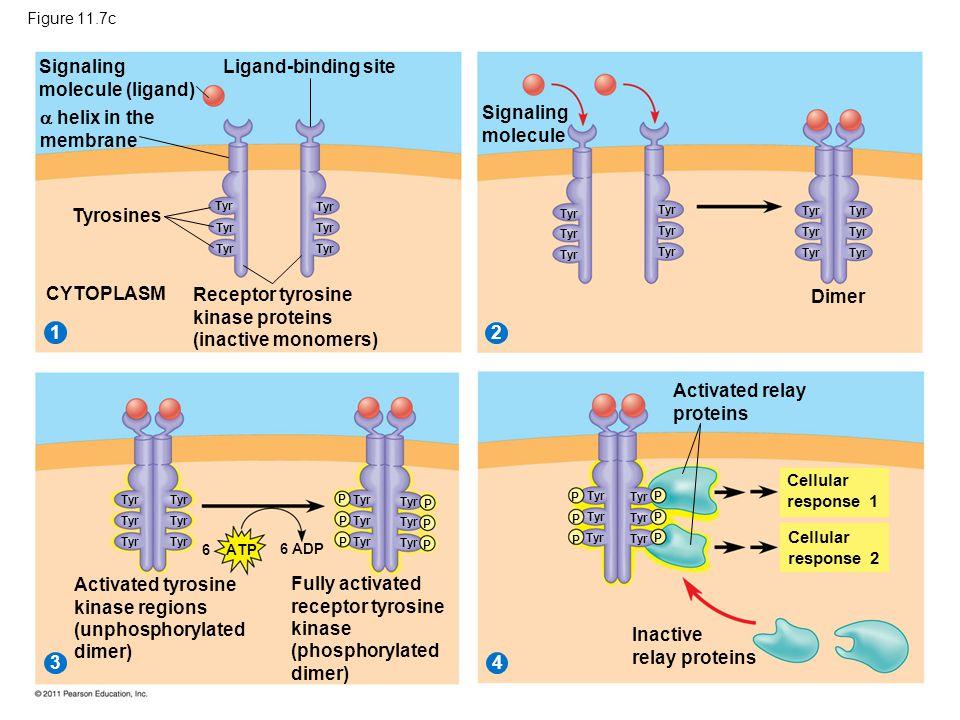 Figure 11.7c Signaling molecule (ligand) 2 1 34 Ligand-binding site  helix in the membrane Tyrosines CYTOPLASM Receptor tyrosine kinase proteins (ina