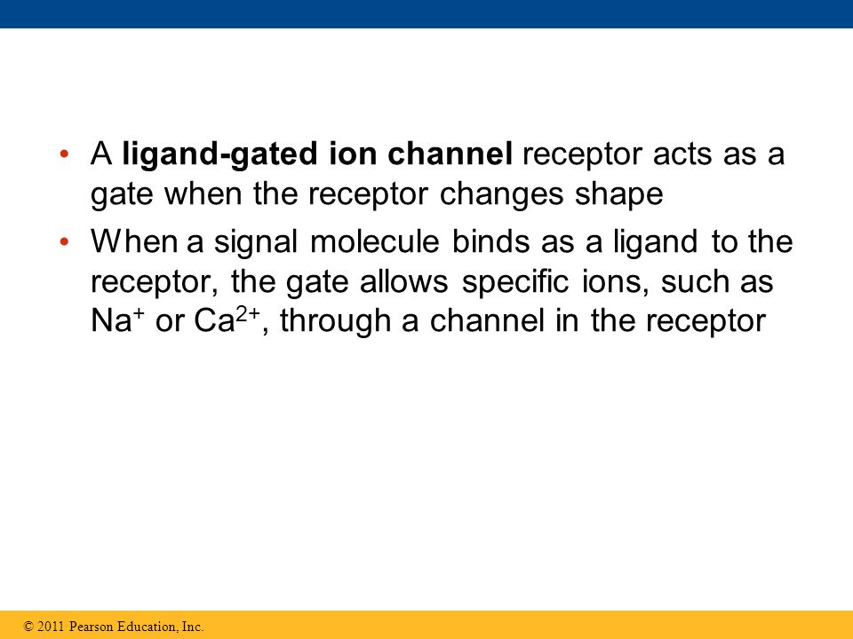 A ligand-gated ion channel receptor acts as a gate when the receptor changes shape When a signal molecule binds as a ligand to the receptor, the gate