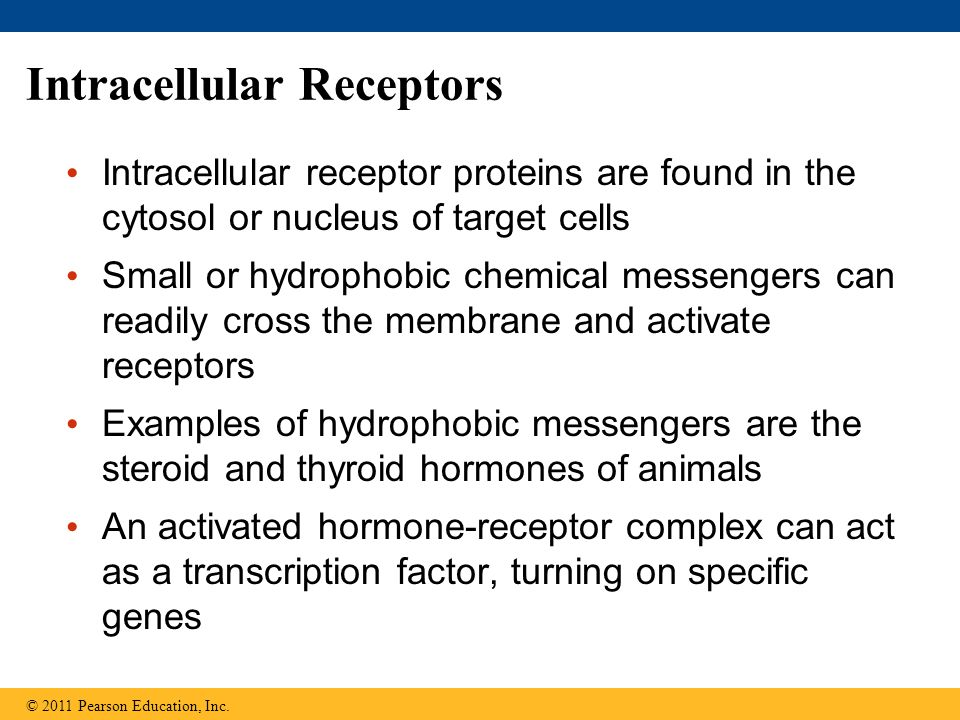 Intracellular Receptors Intracellular receptor proteins are found in the cytosol or nucleus of target cells Small or hydrophobic chemical messengers c