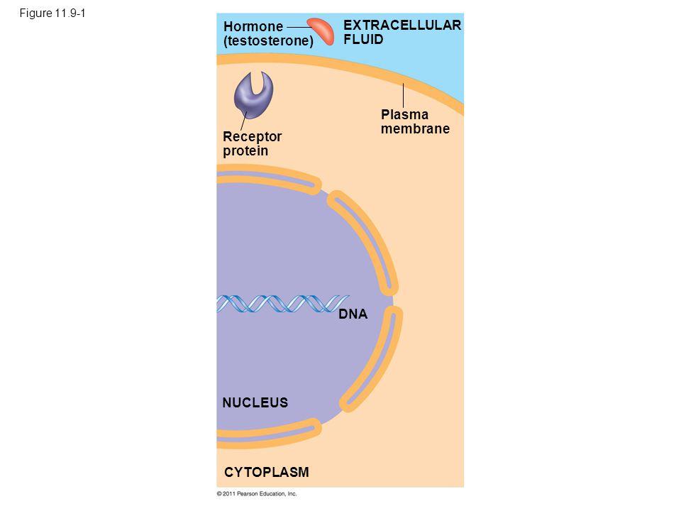 Figure 11.9-1 Hormone (testosterone) Receptor protein Plasma membrane DNA NUCLEUS CYTOPLASM EXTRACELLULAR FLUID