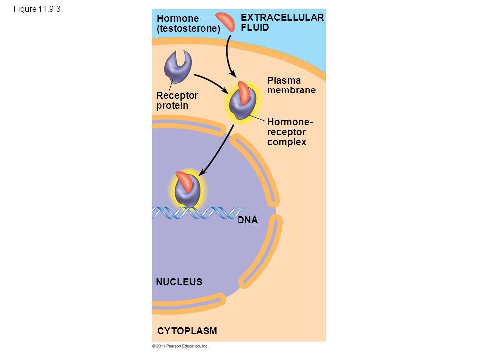 Figure 11.9-3 Hormone (testosterone) Receptor protein Plasma membrane Hormone- receptor complex DNA NUCLEUS CYTOPLASM EXTRACELLULAR FLUID