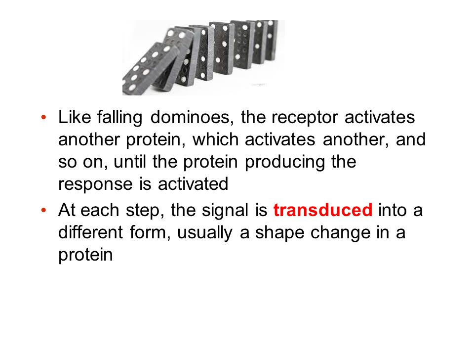 Like falling dominoes, the receptor activates another protein, which activates another, and so on, until the protein producing the response is activat