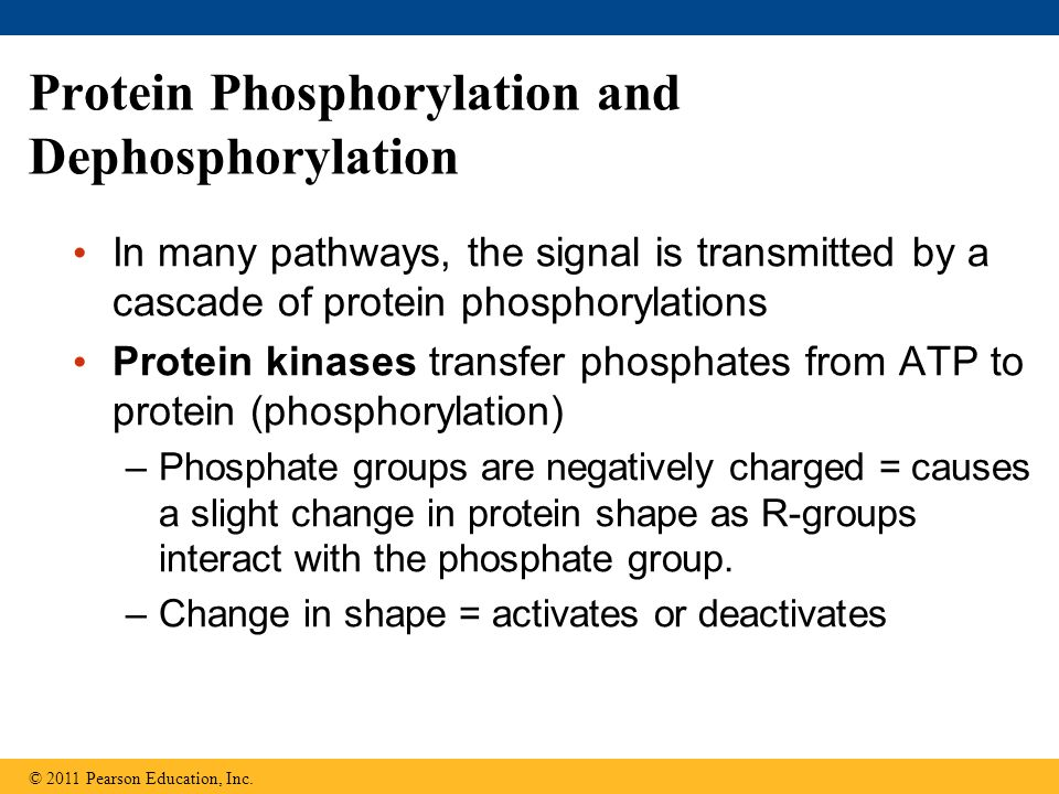 Protein Phosphorylation and Dephosphorylation In many pathways, the signal is transmitted by a cascade of protein phosphorylations Protein kinases tra