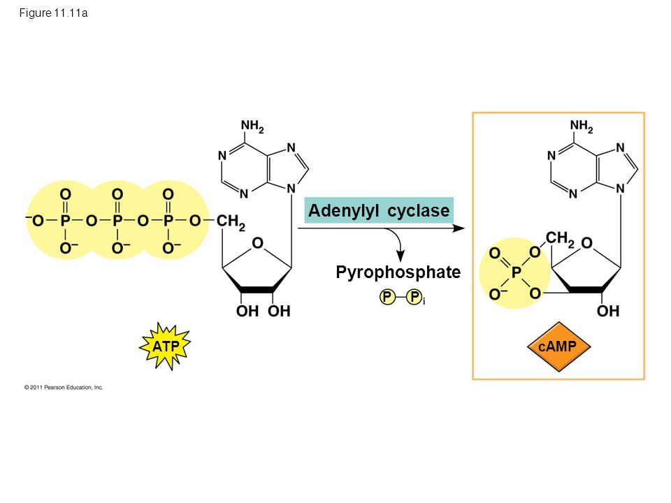 Figure 11.11a Adenylyl cyclase Pyrophosphate ATP P i P cAMP