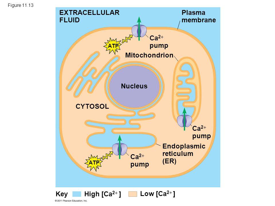 Figure 11.13 Mitochondrion EXTRACELLULAR FLUID Plasma membrane Ca 2  pump Nucleus CYTOSOL Ca 2  pump Endoplasmic reticulum (ER) ATP Low [Ca 2  ] Hi