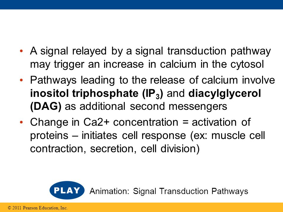 A signal relayed by a signal transduction pathway may trigger an increase in calcium in the cytosol Pathways leading to the release of calcium involve