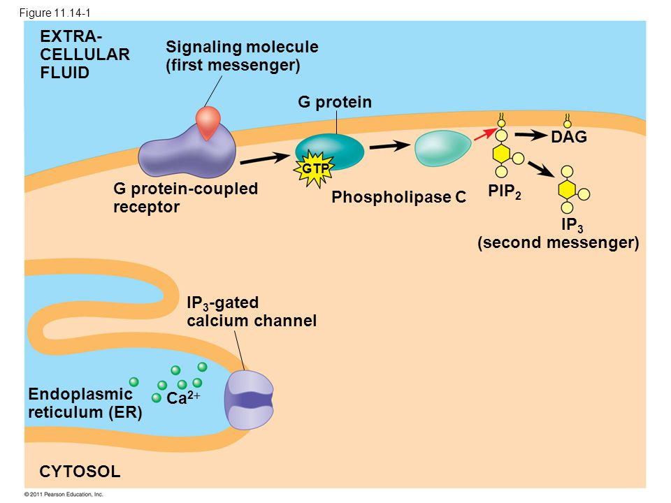 G protein EXTRA- CELLULAR FLUID Signaling molecule (first messenger) G protein-coupled receptor Phospholipase C DAG PIP 2 IP 3 (second messenger) IP 3