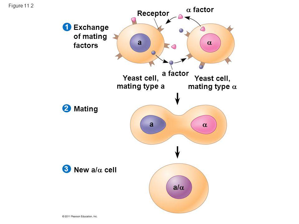 Figure 11.2 Exchange of mating factors Receptor  factor a factor Yeast cell, mating type a Yeast cell, mating type  Mating New a/  cell 1 2 3 a a a