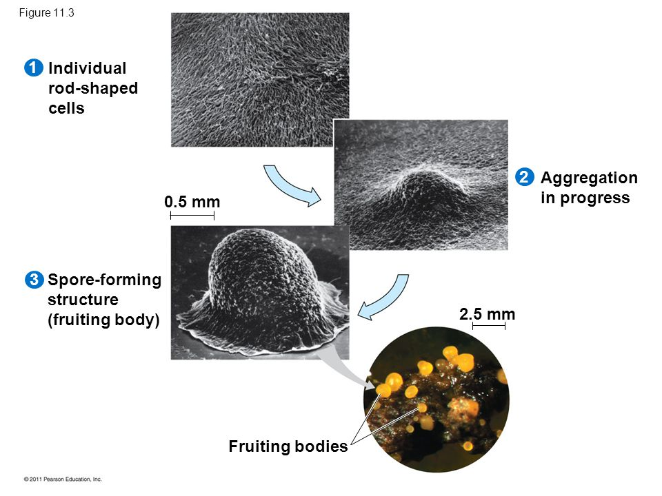 Individual rod-shaped cells Spore-forming structure (fruiting body) Aggregation in progress Fruiting bodies 1 2 3 0.5 mm 2.5 mm Figure 11.3