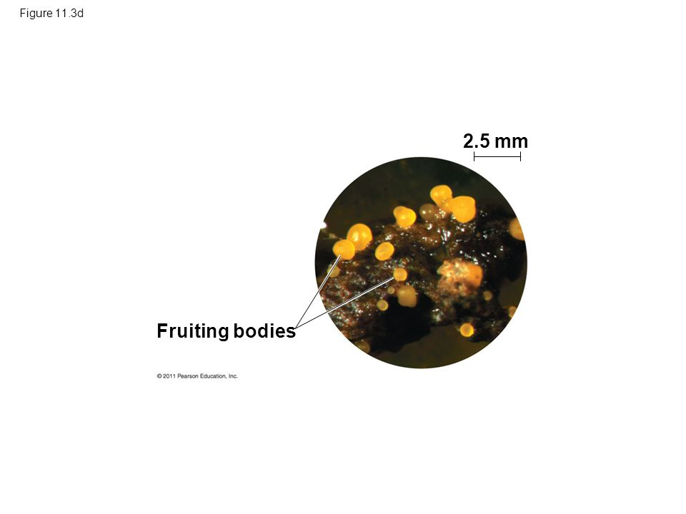 Figure 11.3d Fruiting bodies 2.5 mm
