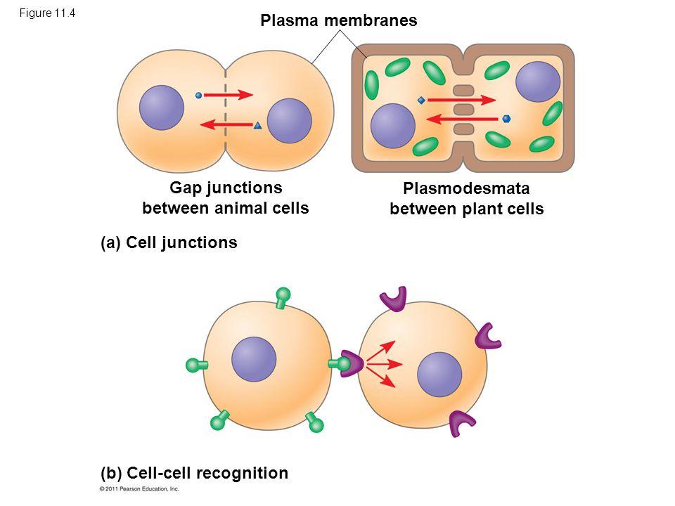 Figure 11.4 Plasma membranes Gap junctions between animal cells Plasmodesmata between plant cells (a) Cell junctions (b) Cell-cell recognition