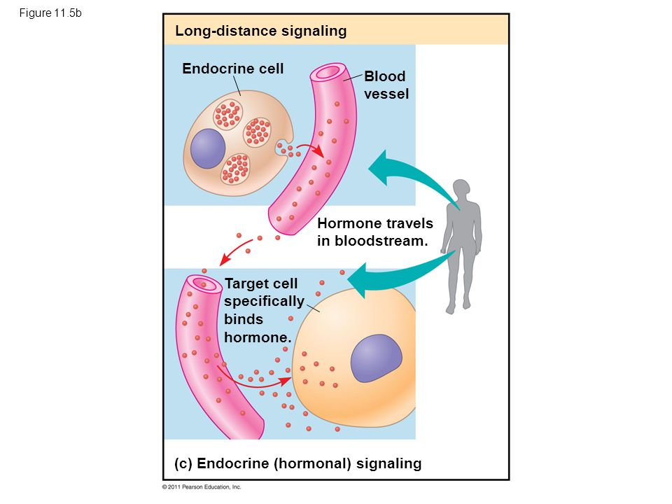 Figure 11.5b Long-distance signaling Endocrine cell Blood vessel Hormone travels in bloodstream. Target cell specifically binds hormone. (c) Endocrine