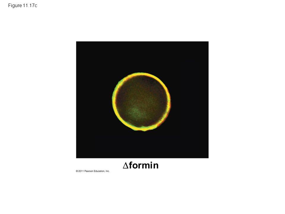 Figure 11.17c  formin