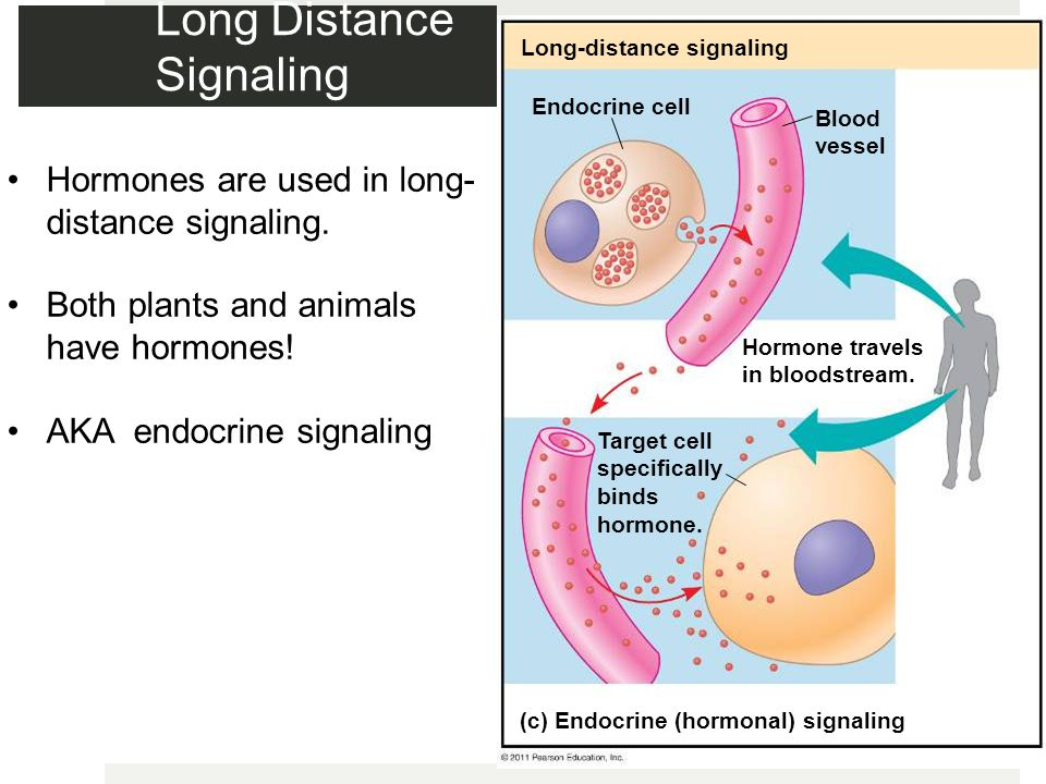Long Distance Signaling Long-distance signaling Endocrine cell Blood vessel Hormone travels in bloodstream.