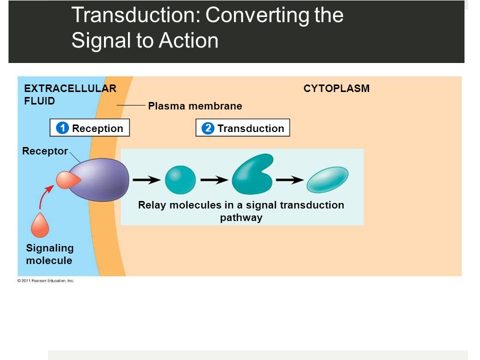 Transduction: Converting the Signal to Action Plasma membrane EXTRACELLULAR FLUID CYTOPLASM ReceptionTransduction Receptor Signaling molecule Relay molecules in a signal transduction pathway 2 1