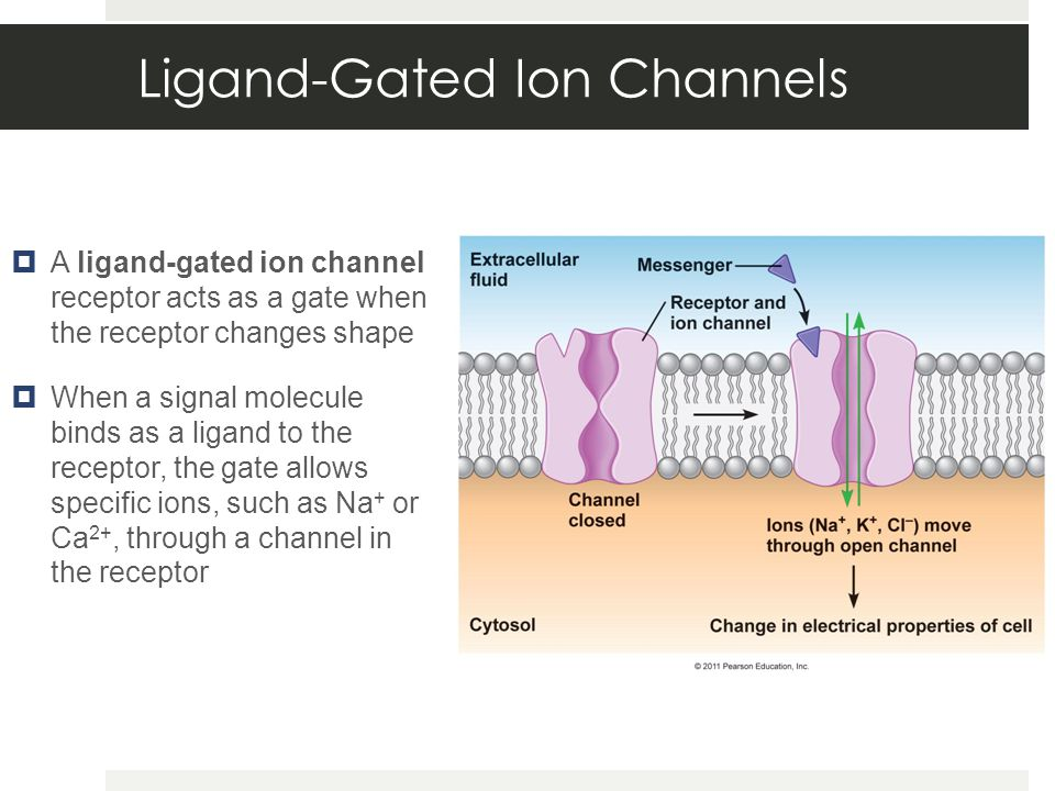 Ligand-Gated Ion Channels  A ligand-gated ion channel receptor acts as a gate when the receptor changes shape  When a signal molecule binds as a ligand to the receptor, the gate allows specific ions, such as Na + or Ca 2+, through a channel in the receptor