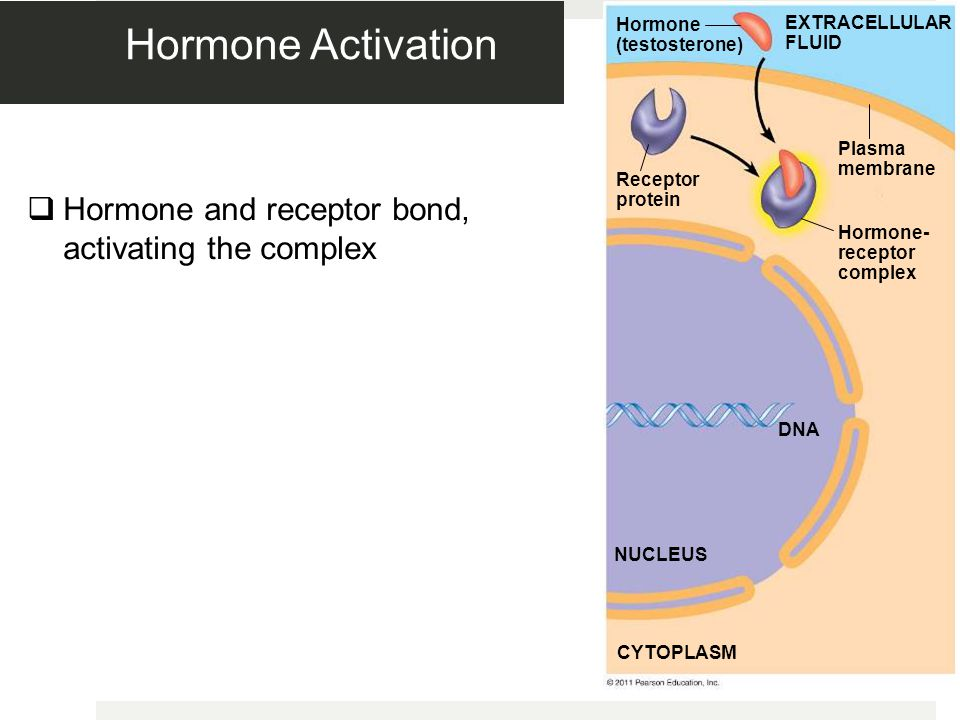 Figure 11.9-2 Hormone (testosterone) Receptor protein Plasma membrane Hormone- receptor complex DNA NUCLEUS CYTOPLASM EXTRACELLULAR FLUID Hormone Activation  Hormone and receptor bond, activating the complex