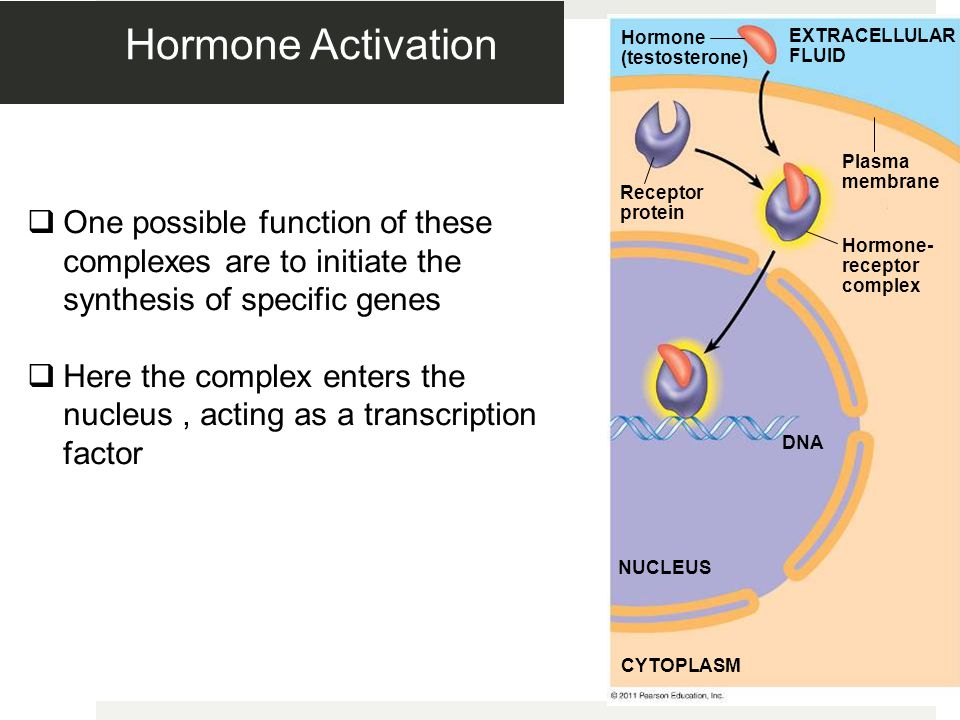 Figure 11.9-3 Hormone (testosterone) Receptor protein Plasma membrane Hormone- receptor complex DNA NUCLEUS CYTOPLASM EXTRACELLULAR FLUID Hormone Activation  One possible function of these complexes are to initiate the synthesis of specific genes  Here the complex enters the nucleus, acting as a transcription factor