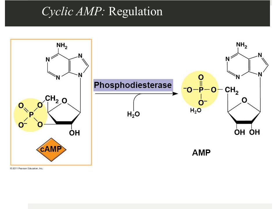 Cyclic AMP: Regulation Phosphodiesterase AMP H2OH2O cAMP H2OH2O