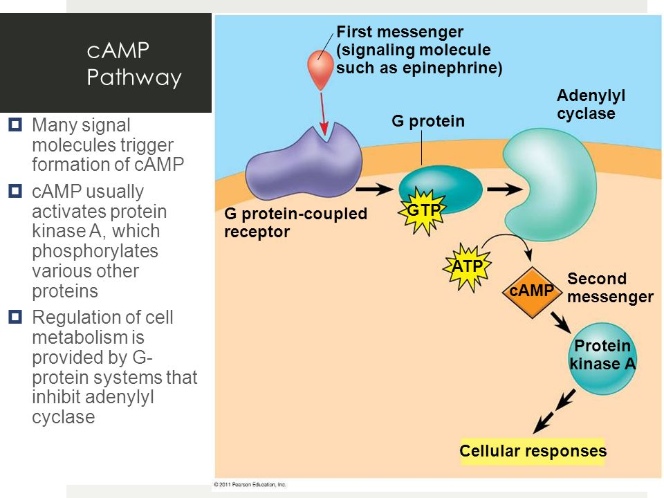 cAMP Pathway  Many signal molecules trigger formation of cAMP  cAMP usually activates protein kinase A, which phosphorylates various other proteins  Regulation of cell metabolism is provided by G- protein systems that inhibit adenylyl cyclase G protein First messenger (signaling molecule such as epinephrine) G protein-coupled receptor Adenylyl cyclase Second messenger Cellular responses Protein kinase A GTP ATP cAMP
