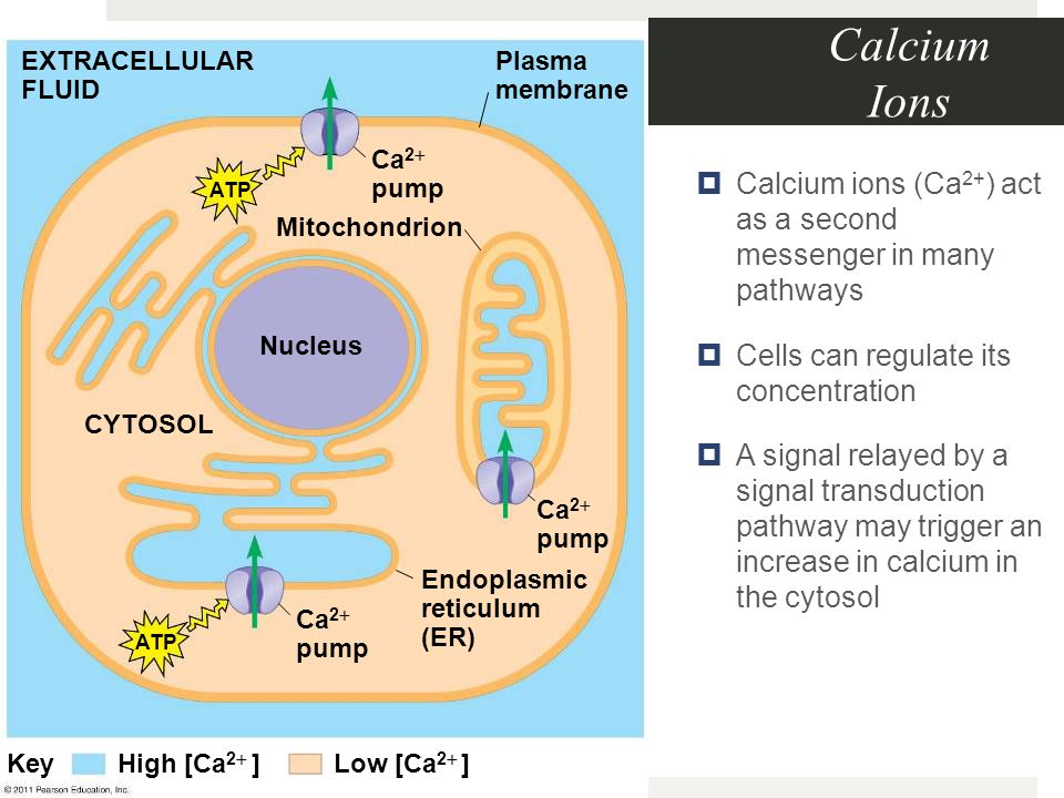 Calcium Ions  Calcium ions (Ca 2+ ) act as a second messenger in many pathways  Cells can regulate its concentration  A signal relayed by a signal transduction pathway may trigger an increase in calcium in the cytosol Mitochondrion EXTRACELLULAR FLUID Plasma membrane Ca 2  pump Nucleus CYTOSOL Ca 2  pump Endoplasmic reticulum (ER) ATP Low [Ca 2  ] High [Ca 2  ] Key